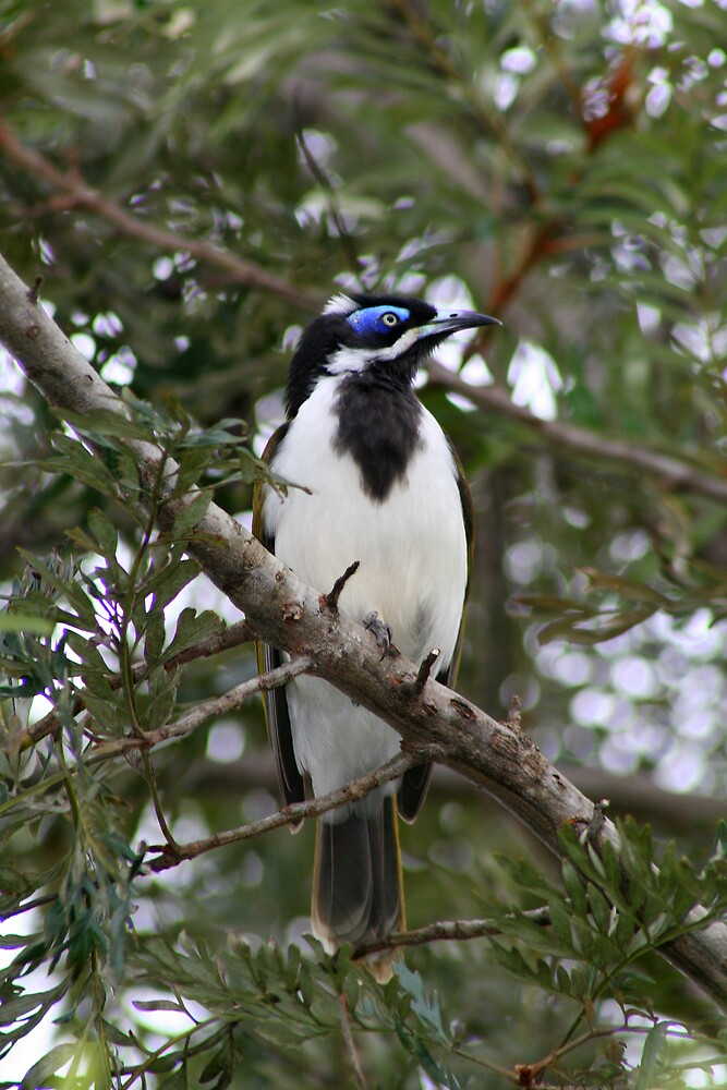 Blue-faced Honeyeater by Peter South