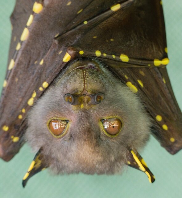 Eastern Tube nosed Bat (Nyctimene robinsoni) by DaintreeLife