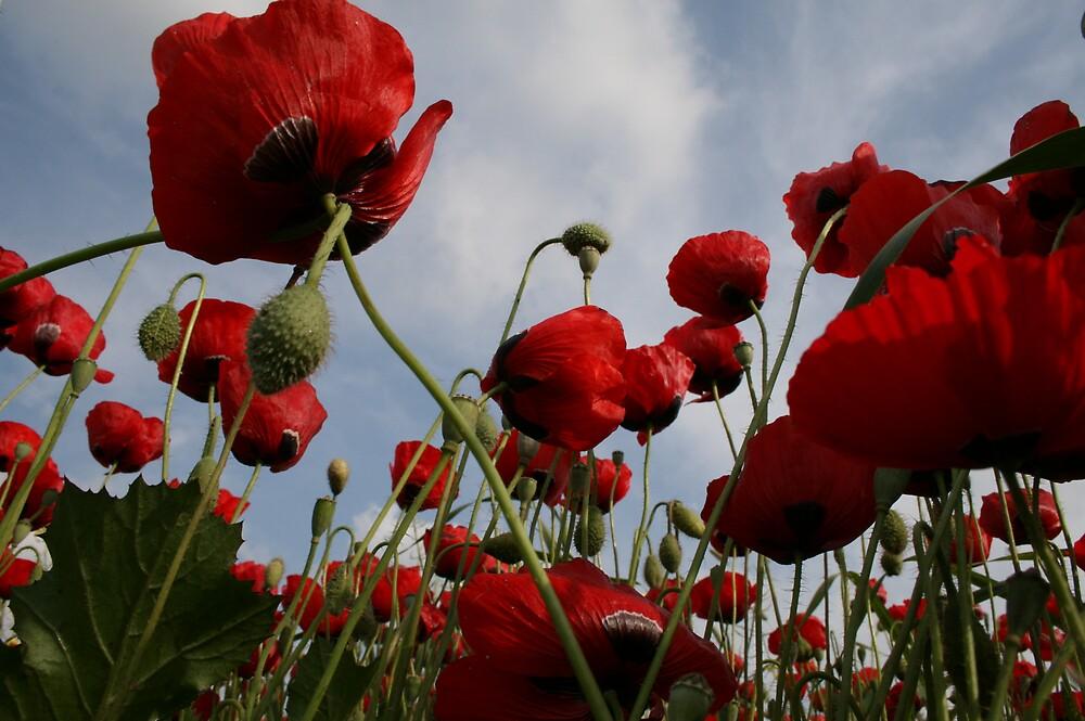 Poppy by Hadas