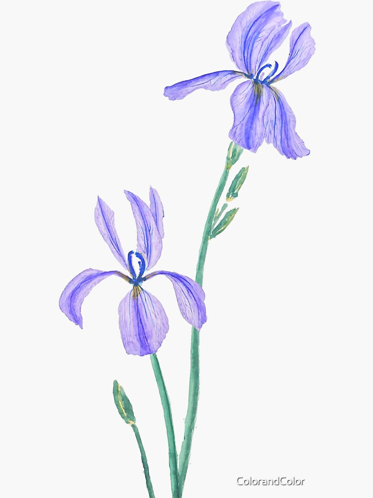 zwei elegante lila Iris Aquarell von ColorandColor