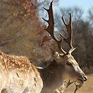Spotted Fallow Deer II by KSkinner