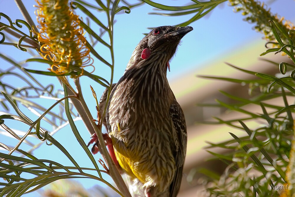 Red Wattlebird Anthochaera carunculata  by Normf