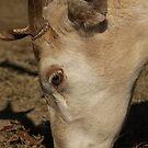 Spotted Fallow Deer III by KSkinner