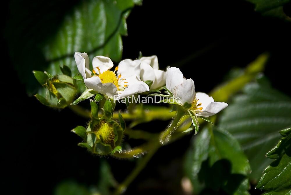 Strawberry Blossom by RatManDude