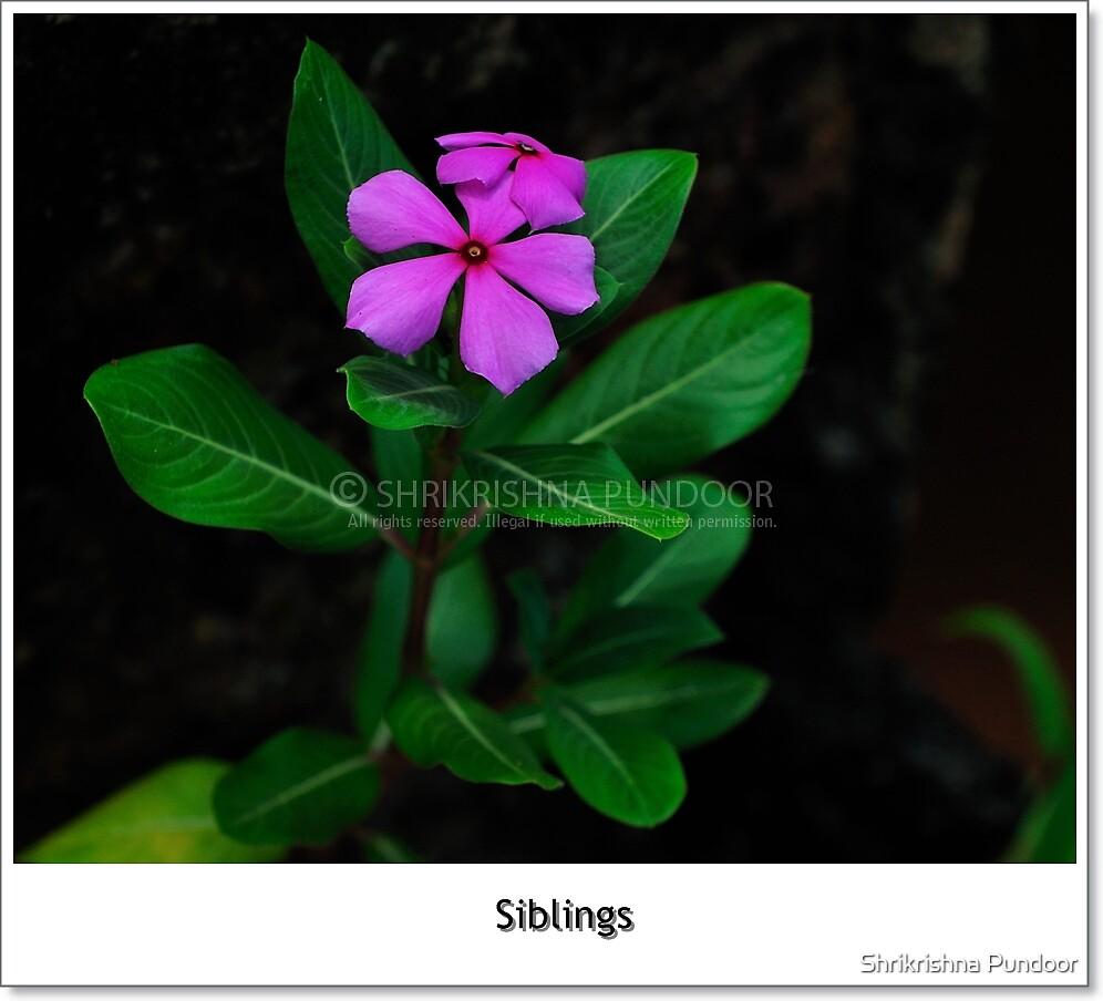Silbings by Shrikrishna Pundoor
