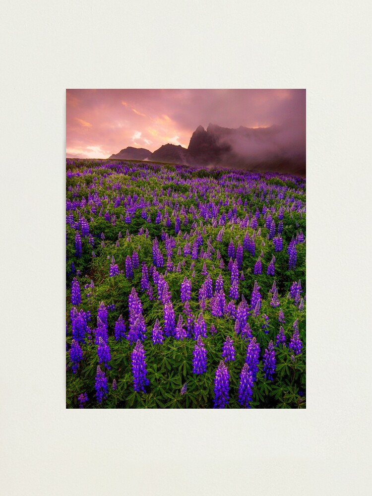 Alternate view of Sunrise over the Lupins Photographic Print