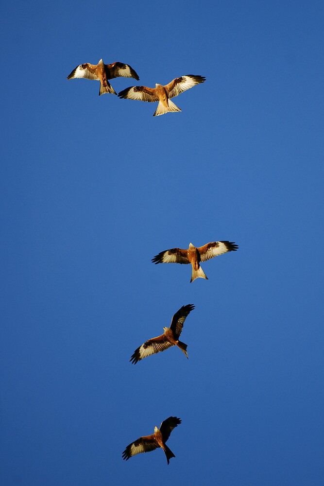 red kite family by dannybeath