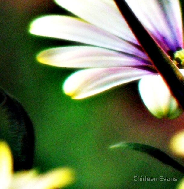 Hint of Daisy by Chirleen Evans