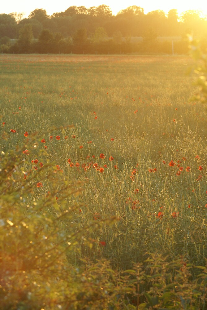 Evening poppies by listed