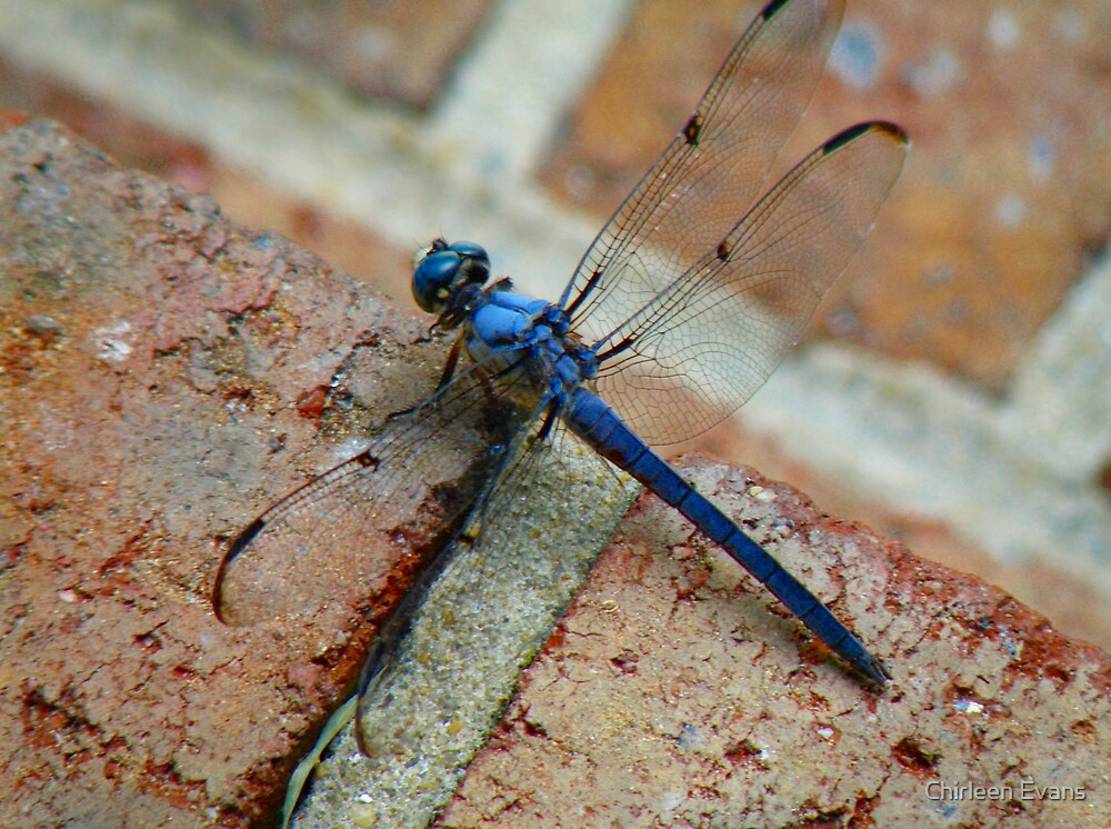 Blue Dragonfly by Chirleen Evans