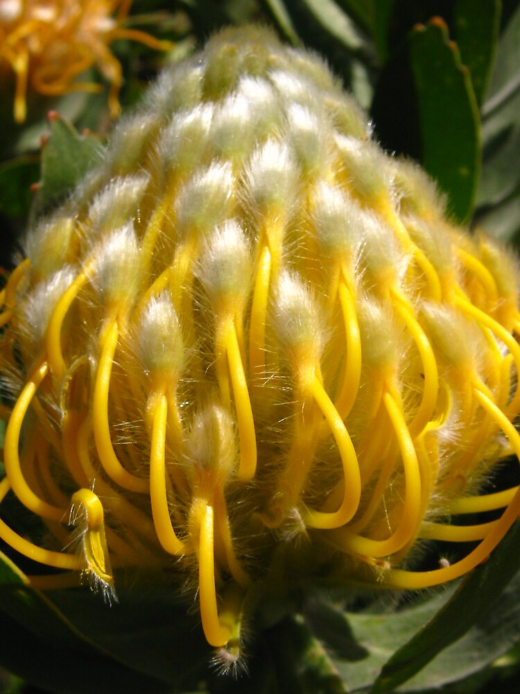 Pincushion Protea by Roxanne Vetter