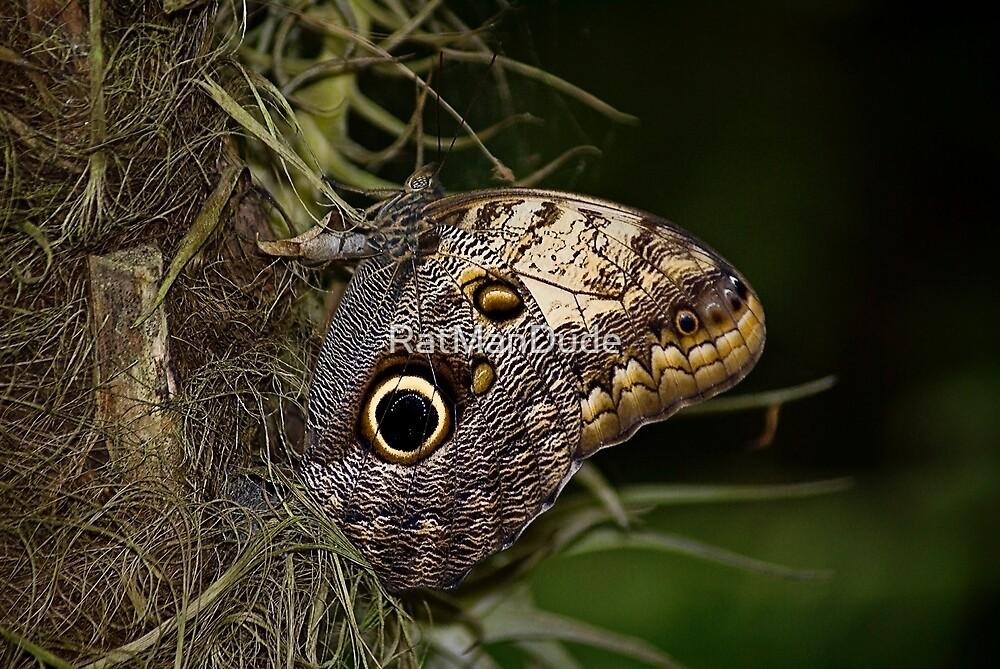 Caligo Artreus - Owl Butterfly by RatManDude
