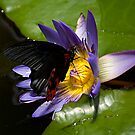 Papilio Rumanzovia - The Scarlet Swallowtail by RatManDude