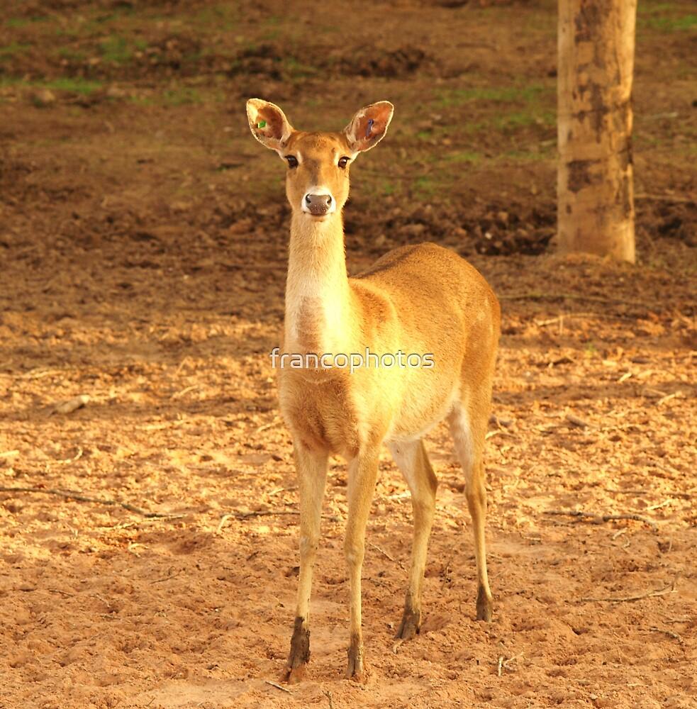 Young Fawn Deer by Franco De Luca Calce