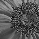 Sunflower Macro in B&W by KSkinner