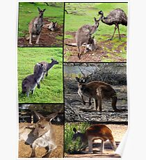 Aussie Kangaroos In A Photo Collage Poster