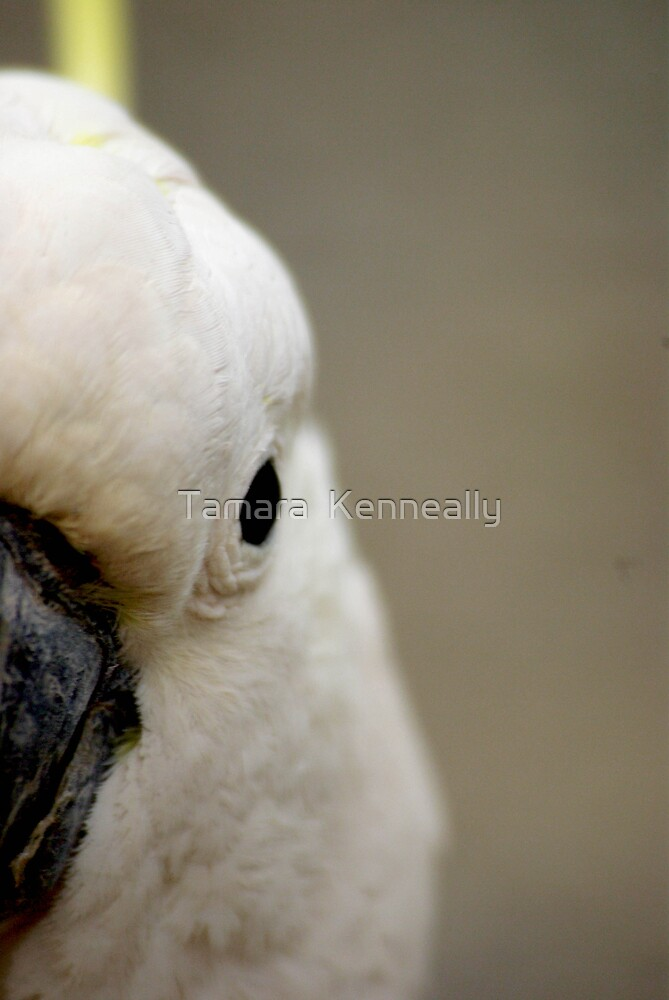 Sulphur Crested Cockatoo by Tamara  Kenneally