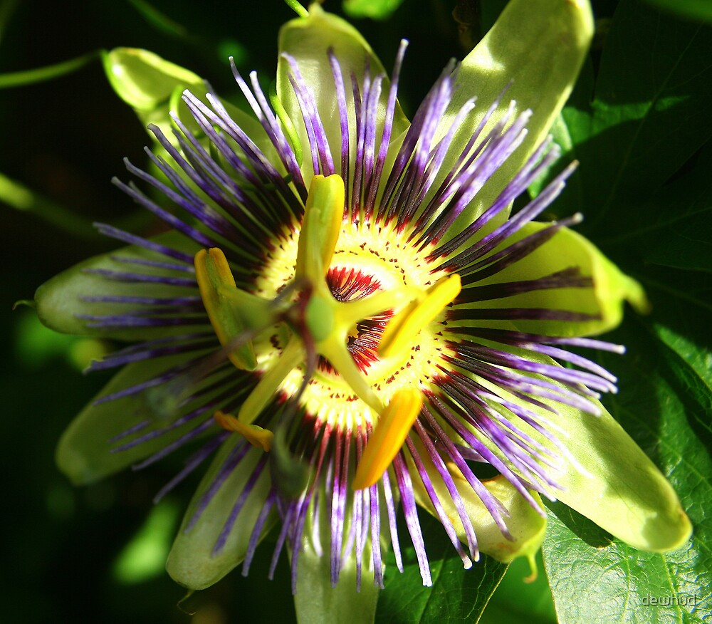 Passion flower by dewhud