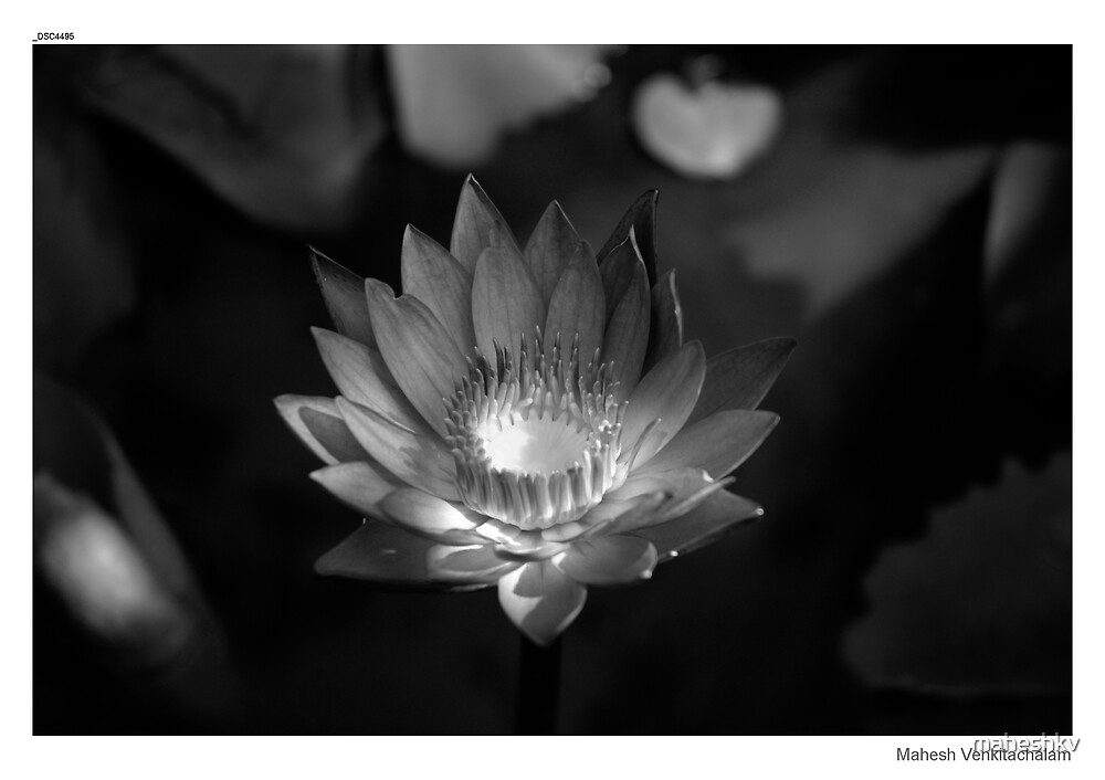 Water lily by maheshkv