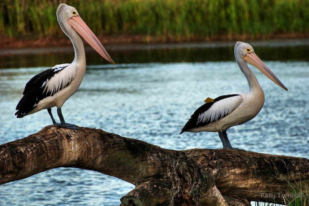 pelicans by Kelly Turnbull