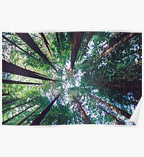 Californian Redwoods Poster