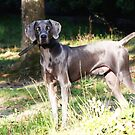 Elvis - Weimaraner by Ginger  Barritt