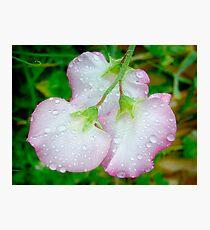Sweet Pea Photographic Print