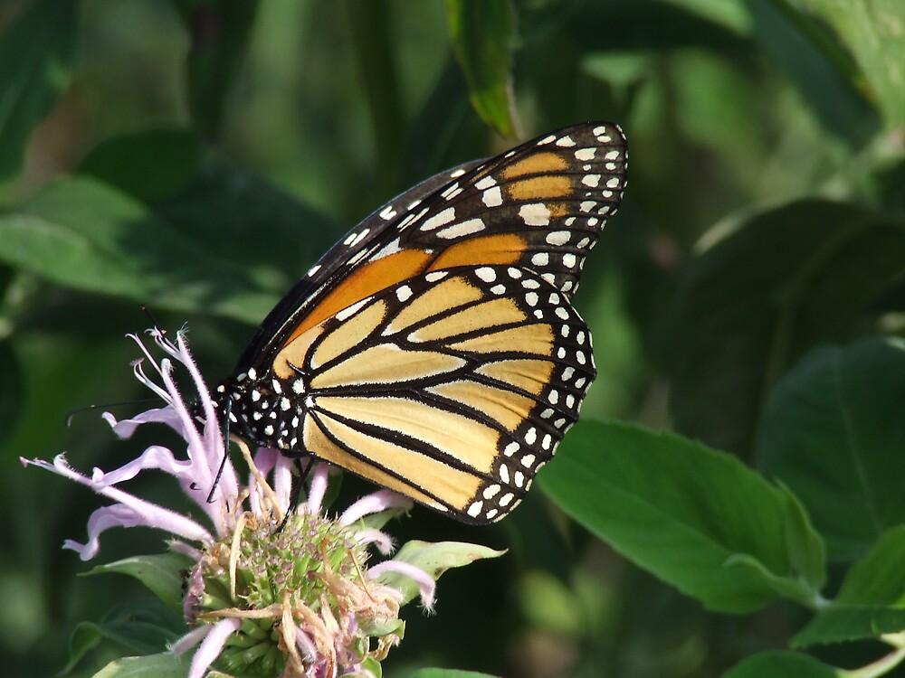 monarch2 by scottymm