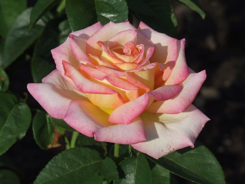 rose by scottymm