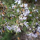 rosemary in late bloom by NordicBlackbird
