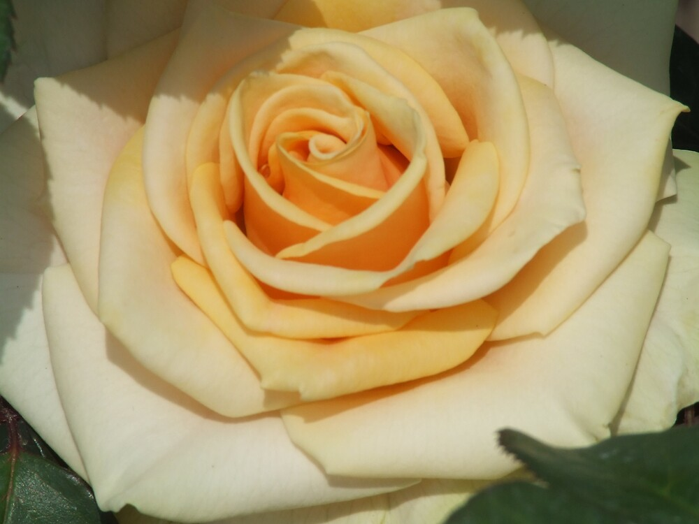 Marilyn Monroe Rose by scottymm