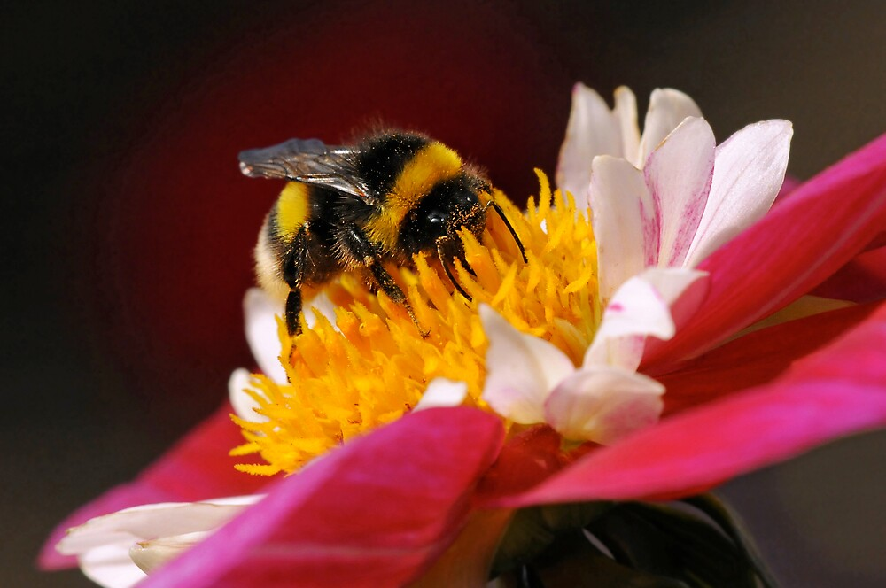Bumble-Bee in the Spotlight by mc27
