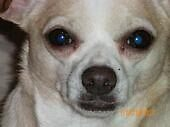 Chihuahua Face by branbran