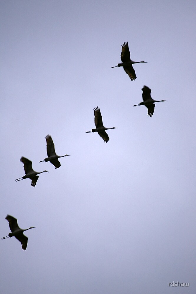 Cranes Flying 16 by rdshaw