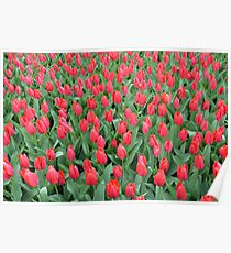 Flowers 55. Red Tulips Poster