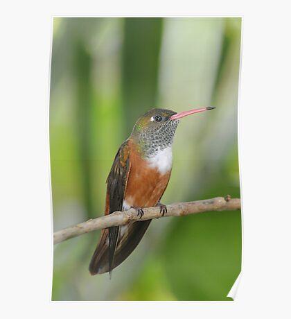 Hummingbird in Green Poster