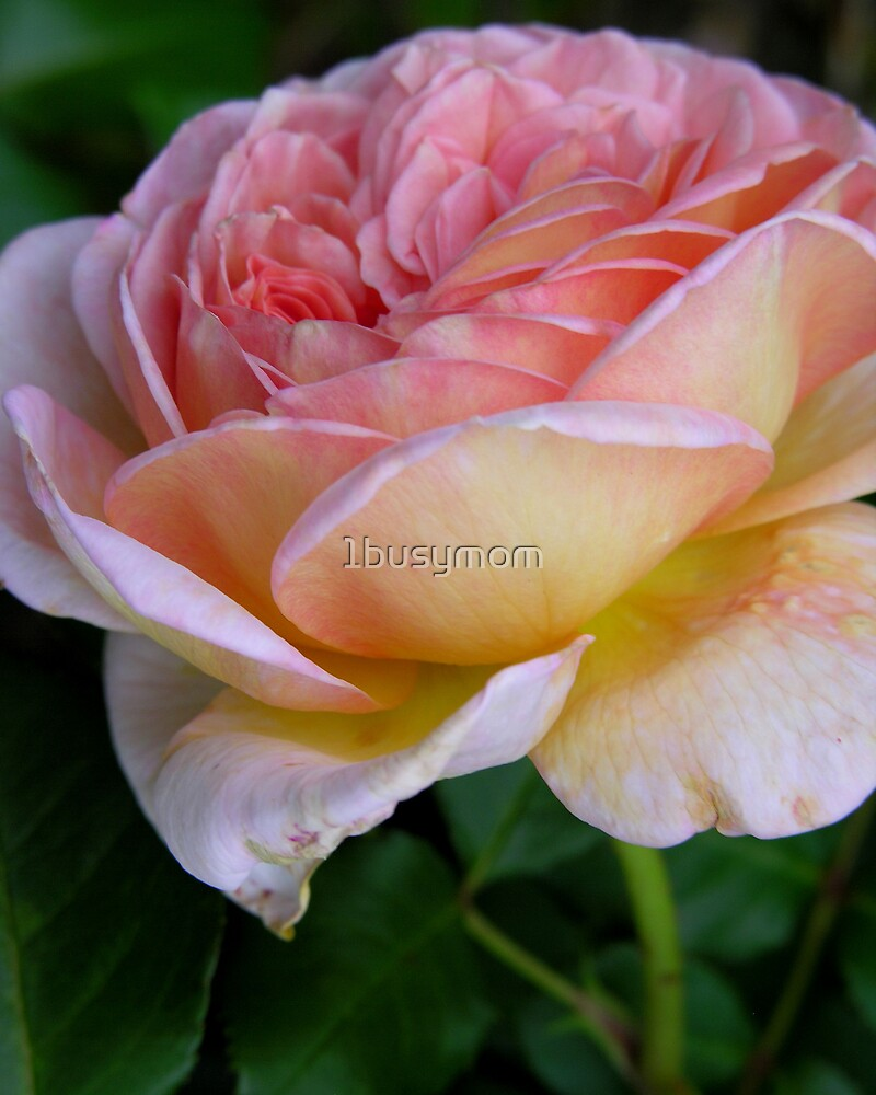 one pink rose by 1busymom