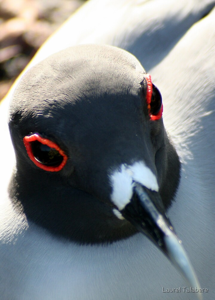Swallow-tailed Gull  by Laurel Talabere