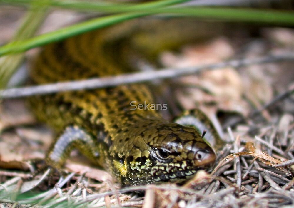 Glossy Swamp Egernia by Sekans