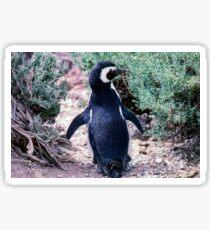 Magellanic Penguin in Peninsula Valdes - Argentina Sticker