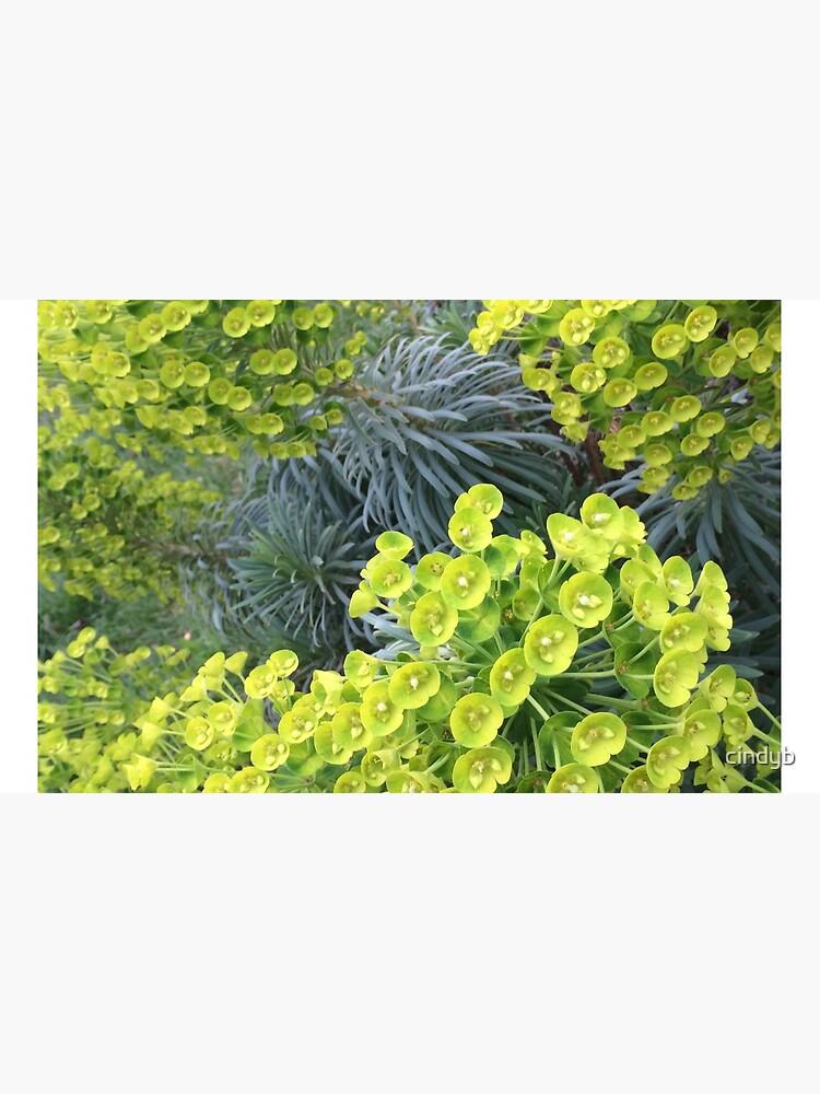 Euphorbia von cindyb