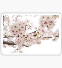 Cherry blossoms with light pink flowers Sticker