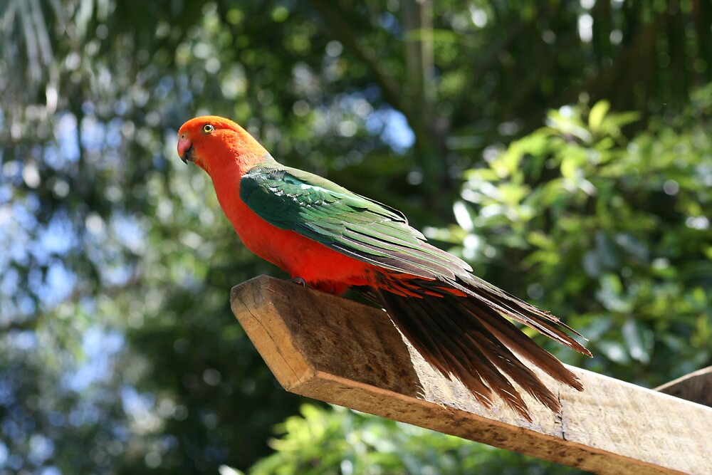 King Parrot by Jay Spadaro