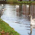Ugly duckling chats with Blue Heron by MooseMan