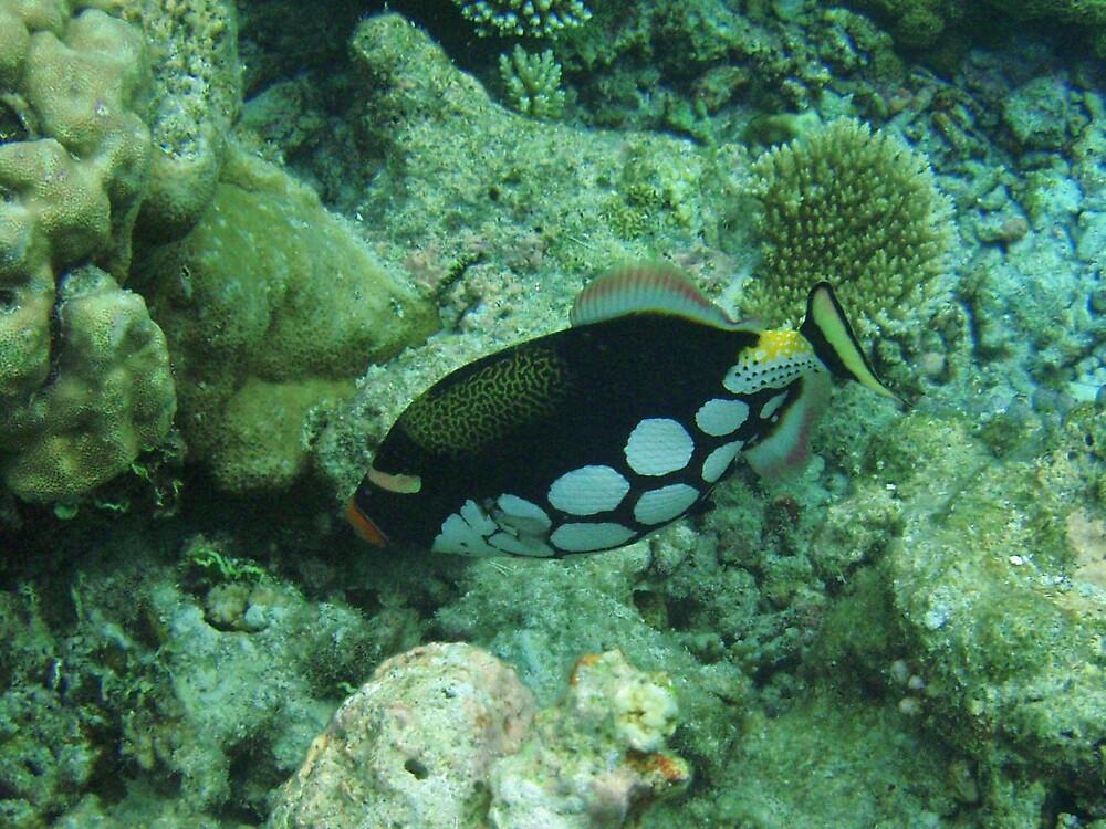 Clown triggerfish by presbi