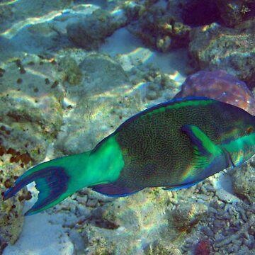 Bullethead parrotfish by presbi