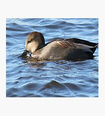 Beautiful Gadwall North American Duck Photo Photographic Print