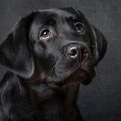 Labrador pup by Karen Havenaar