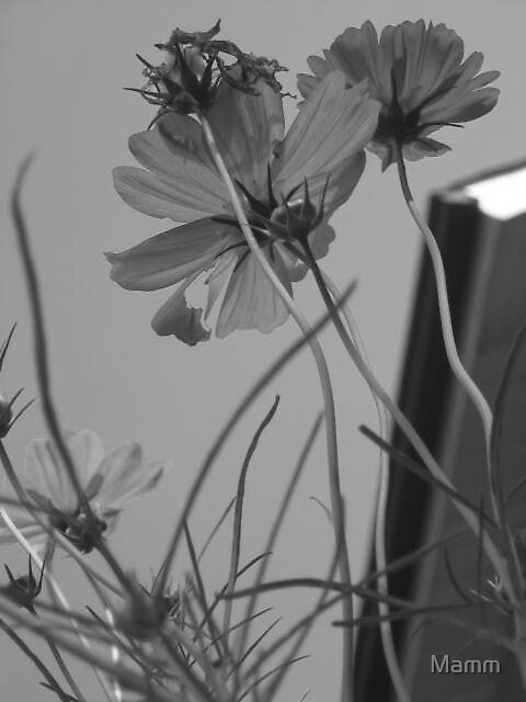 black and white cosmos by Mamm