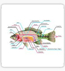 Fish Organs Labeled Open Bass Sticker